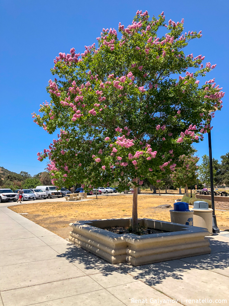 blossoming tree in Bakersfield