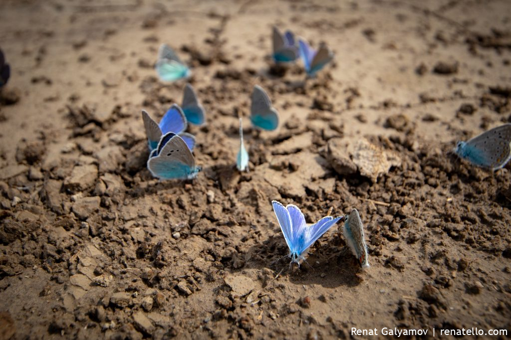 Butterflies in Kazakhstan