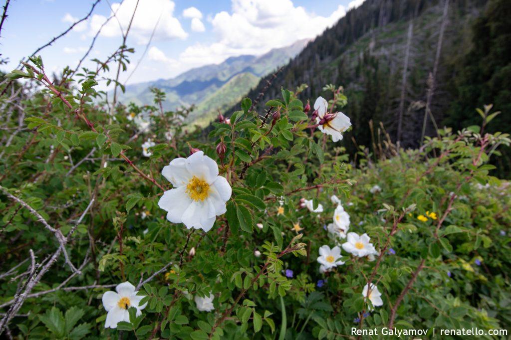 Flowering rosehip